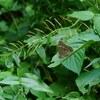 薄暮に飛ぶ  - クロヒカゲモドキ -