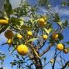 柚子の収穫と冬至