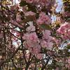 安川緑道公園、八重桜満開です。