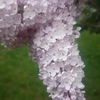 春の札幌のイベント さっぽろライラックまつりに行ってみた