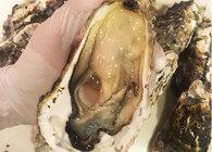 訳ありの牡蠣を食べてみた