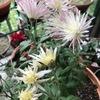 菊(2) 嵯峨菊は,江戸時代のブーム「正徳の菊」の名残り? 江戸期以降の華やかな菊とはことなり,平安貴族にとっては,菊は「色あせればあせるほど、美しさが深くなる」とされていたとか.今週の土曜日28日,旧暦で菊酒を飲んで重陽の節句を祝うのも1つの考え方?  「秋風の 吹きあげに立てる 白菊は 花かあらぬか 浪のよするか」(菅原道真)