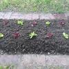 秋播きレタスの苗、やっと定植
