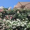 薔薇屋敷2019、そしてバラ園の通り抜け