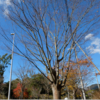 立冬の木々は冬支度  樹木ウオッチング;先ずは樹木の名前を知ろう