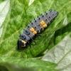 テントウムシの幼虫と蛹と^^;