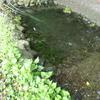 カメトープ2号池のエビを復活させたくて水草を植えてみた