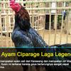 Sabung Ayam Ciparage Legendaris DariKarawang
