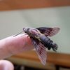 ハチドリのような蛾