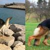 紀州犬とジャーマンシェパード