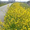 【お花見17】 荒川の菜の花 【サイクリングコース2】 荒川サイクリング沿い