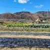 玉ねぎの除草