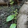 ソハヤキトンボソウ~祖母傾大崩ユネスコパーク~宮崎県の植物
