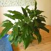 観葉植物メンテ強調週間…その1