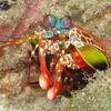 色も柄も派手やかな…サンゴ海の〝かぶきもの〟猛者/ モンハナシャコ