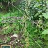 森バナ農園2020 収穫(9/19)