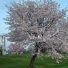 🌸さくら満開🌸 ~5月6日(木)
