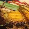 非 遺伝子組み換え作物 の選別機構