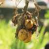秋植えの植物の検討中FY2021