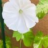 おはようございます。白い朝顔。
