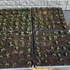 キャベツの定植の準備