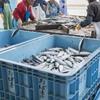 2017年4月17日 小浜漁港 お魚情報