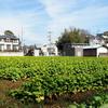 菜の花畑のヒヨドリ