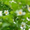 たった一日だけのシャラの花