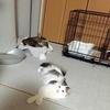 子猫 エサよく食べるように♡(避妊手術後)