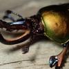 パプアキンイロクワガタ 蛹室へ菌糸が侵食!