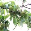 桃の摘果と幼果のアチャール