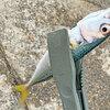 サビキ釣りとルアー釣り やっぱりサバがメイン