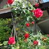 2013/05/14 以前から植わっていたバラ