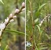 イヌタデ属には.小さくてかわいらしい花をつける植物が沢山あります.サクラタデ.ミズヒキ,イヌタデ,ミゾソバ----.イヌタデは食べられますが,食べられるといえば何といってもヤナギタデ.江戸時代には立派な野菜とみなされていたようです.我が宿の 穂蓼古幹摘み生し  実になるまでに 君をし待たむ 万葉集