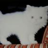 猫紹介 ペルシャのクリーンの話なの 沢山ごめんなさい