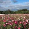 4種40万本のコスモスが楽しめる!高崎市「鼻高展望花の丘」