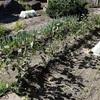 夏野菜の撤去 ∩ 落花生の収穫