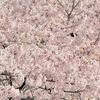 東京で夜桜が見られるお花見スポットについて紹介します