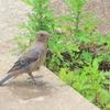 イソヒヨドリの幼鳥🎶