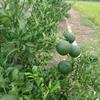デコポン(柑橘)マン目指し 栽培勉強開始