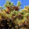 「佐久の季節便り」、「三つ葉松」・「リギダ松」の黄葉が青空に映え…。