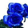 青いバラでミステリアスな雰囲気に!?染められたバラについて