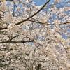 平和公園と桜と私。