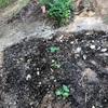 初心者の家庭菜園二度目の土寄せ