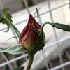 あっという間に2018年もあと1日!庭でバラのつぼみを発見♡