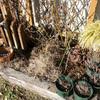 地植えバラ 寒肥&マルチング