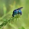 jewel wasps