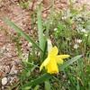 やっと一輪 黄色い水仙