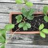 まんぷくいちご福王は順調に育っています🍓大きくて甘くて美味しいイチゴちゃんは上手く育つでしょうか・・・