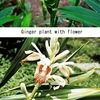 ショウガ2/ ショウガ科の花 ショウガはインドから南アジアが原産と考えられており,主な生産国もほぼこの地方に重なります.原産が南方のため,日本でショウガの花が見られるのは,一般的には温室の中だけ.でも南の国々では鑑賞用としても栽培されているようです.ショウガ科には他の香辛料も属しますが.ほとんど(ミョウガは例外?)皆美しい花を咲かせます.